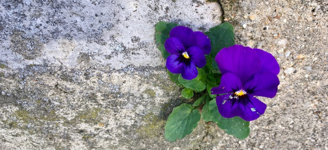 pansies blooming from stone